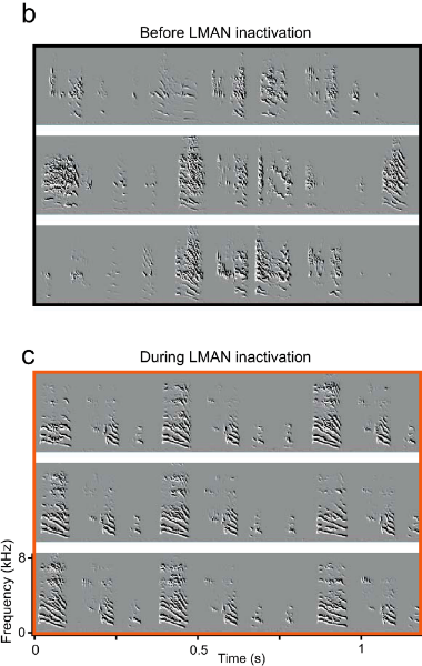 The LMAN region in birds has similar functionality to the BG in mammals. (B) Examples of a juvenile zebra finch song  showing large variability in the sequence and acoustic structure of song syllables.(C) Inactivating LMAN produces an immediate reduction of sequence and acoustic variability, revealing a highly stereotyped song produced by the motor pathway. Taken from Ölveczky et al., 2005