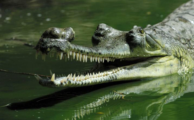 "The endangered Gavialis gangeticus are the only sexually dimorphic crocodiles in the world; males can be distinguished by the large bulbous growth atop their snouts used to amplify sound, known as a ""ghara"" (Hindi for ""pot)."