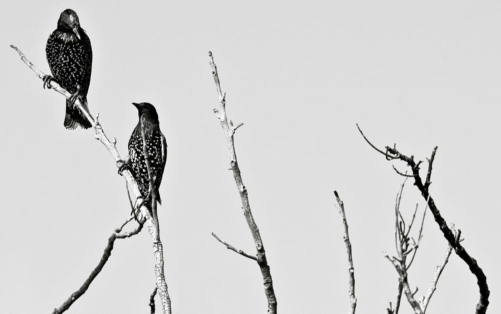 starlingtalk.jpg