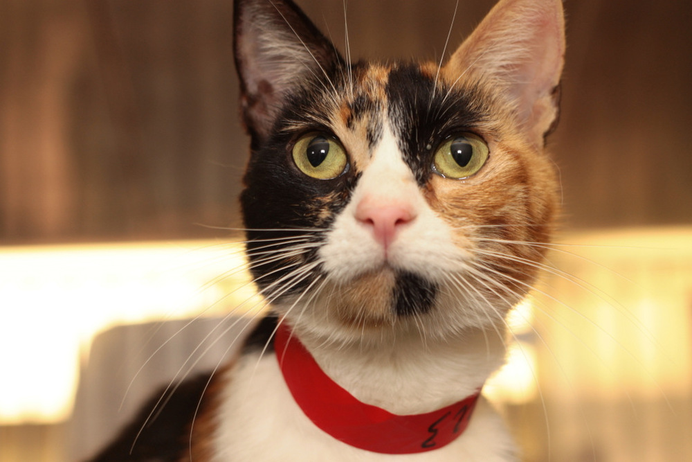 Alyssa a 2 year old loving calico girl available for adoption in Sherman Oaks