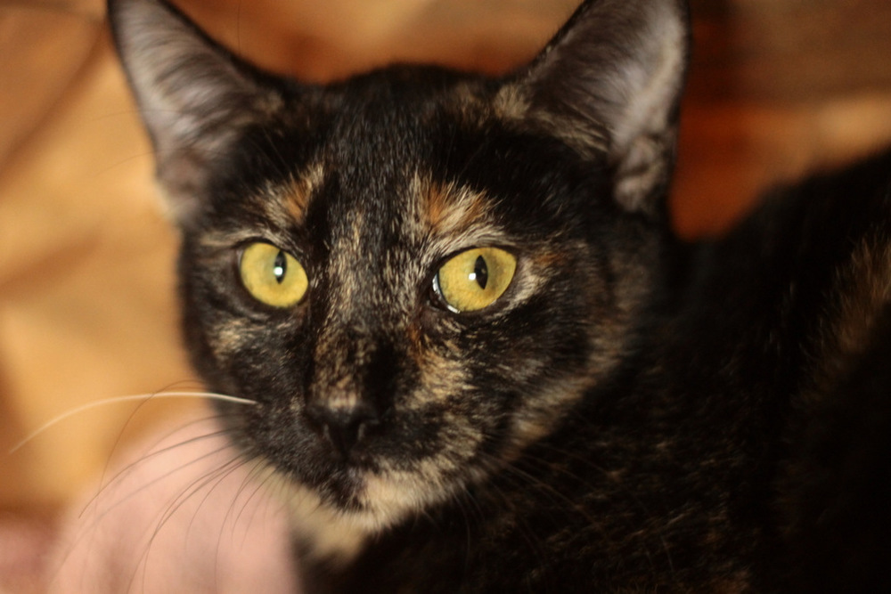 Chevy is a 6 mo old tortie kitten. She is super sweet but was really freaked out in the shelter. She will need  some time to trust but loves affection and is available for adoption through AINRN and is in foster in Torrance