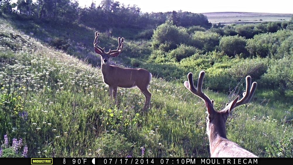 Two big Mule Deer bucks