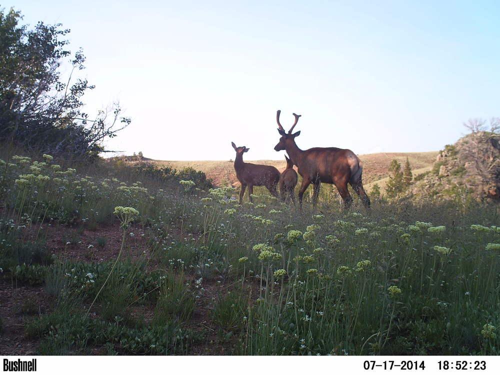 Elk calf, cow and bull