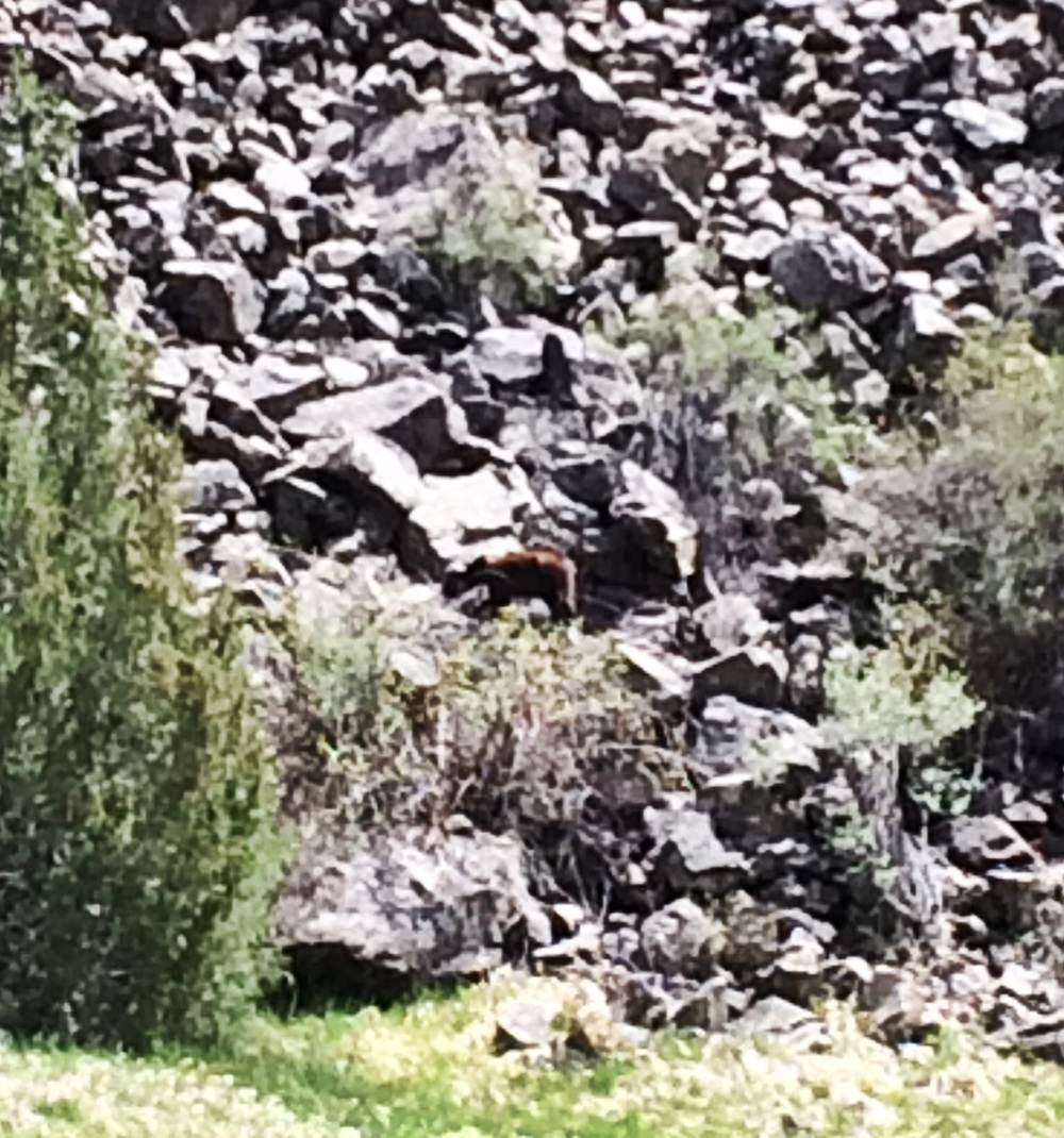 Cinnamon colored black bear, on the rocks, 30 yards across the river.