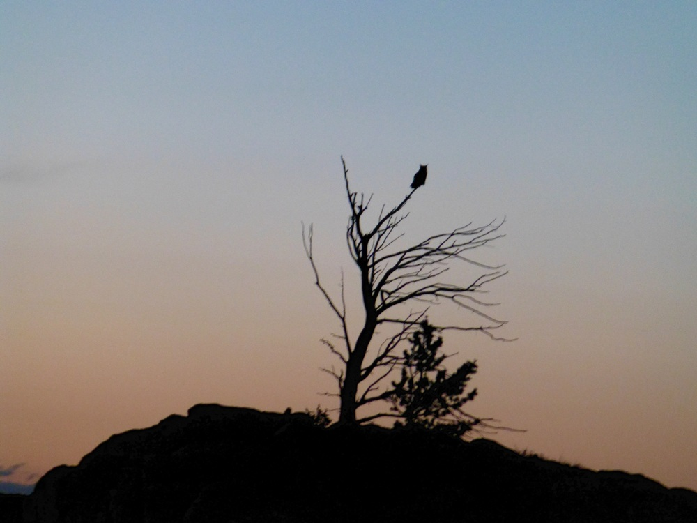 Great Horned Owl on top of a dead Limber Pine on Sunset Ridge