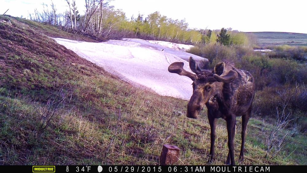 Bull Moose at the Salt Block