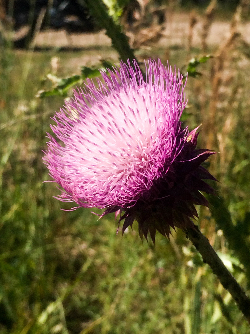 Canadian Thistle in bloom