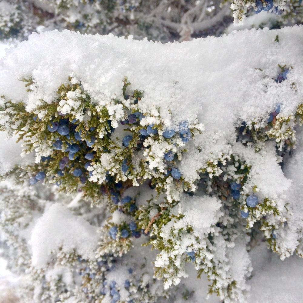 Juniper berries under fresh snowfall