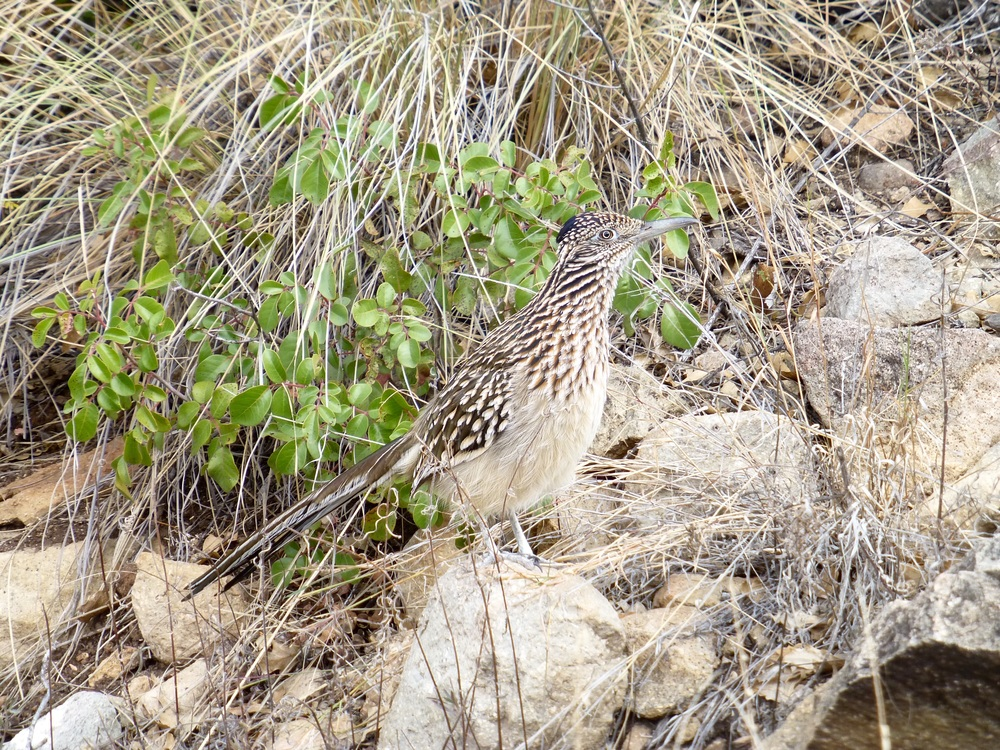 Road Runner on the trail