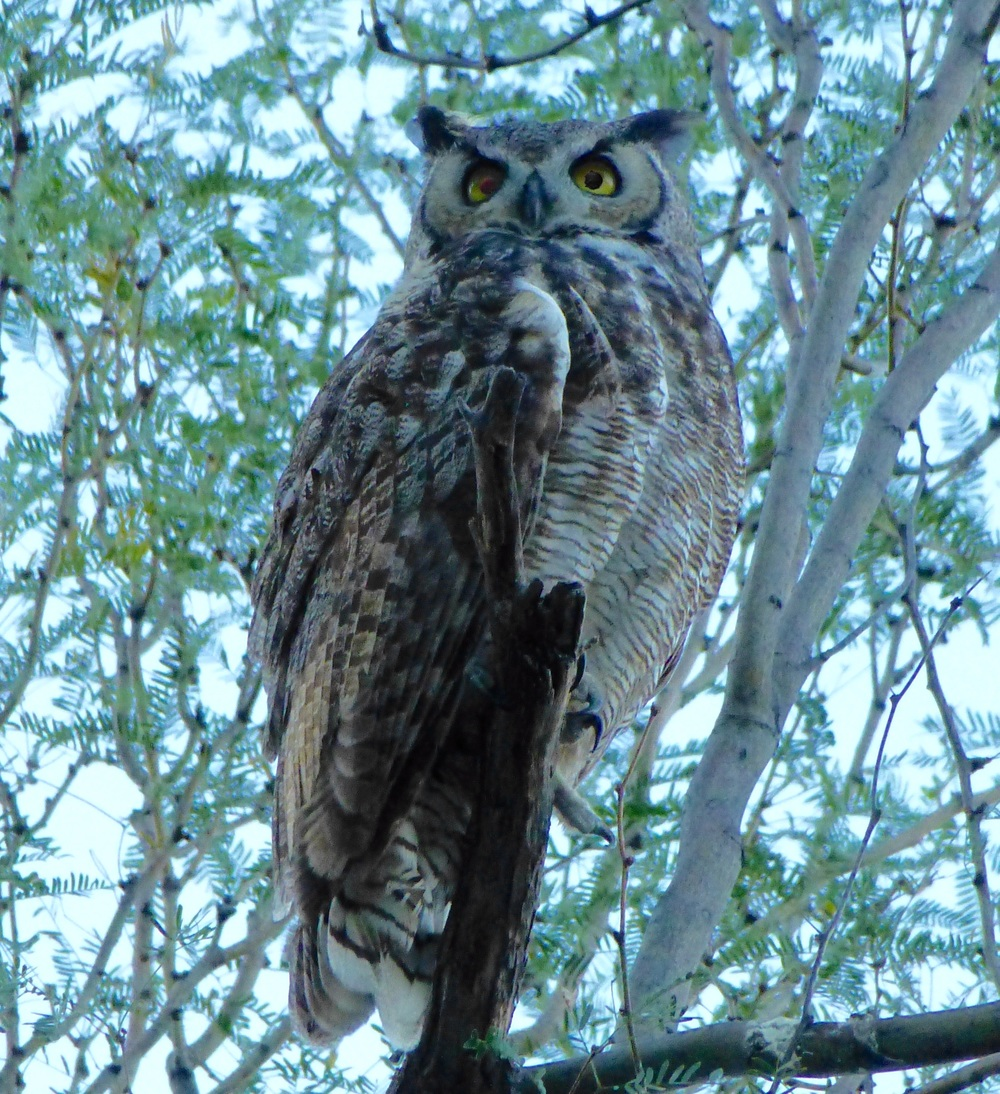 Great Horned Owl above our campsite