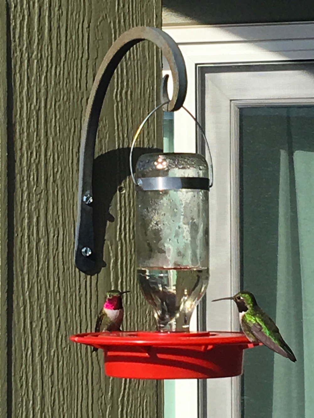 Two male Broadtail Hummingbirds
