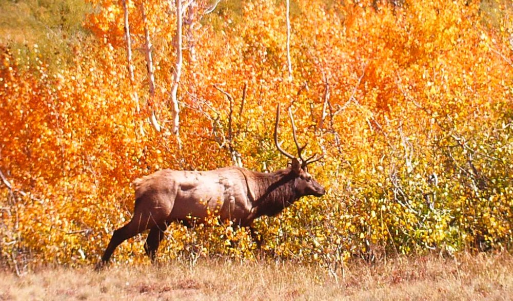 A bull elk 20 yards from the cabin