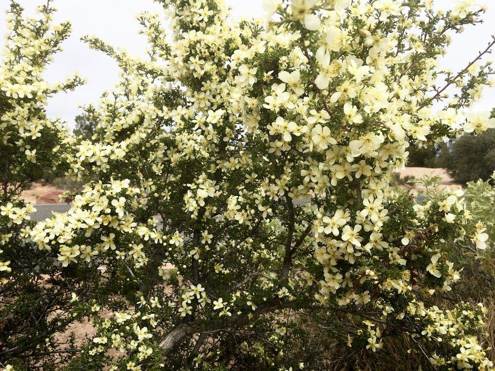 Black Brush also in bloom