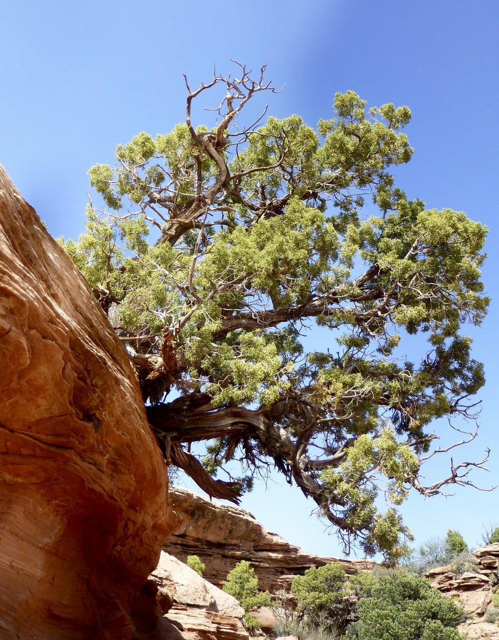 Bonsai Pinion Pine