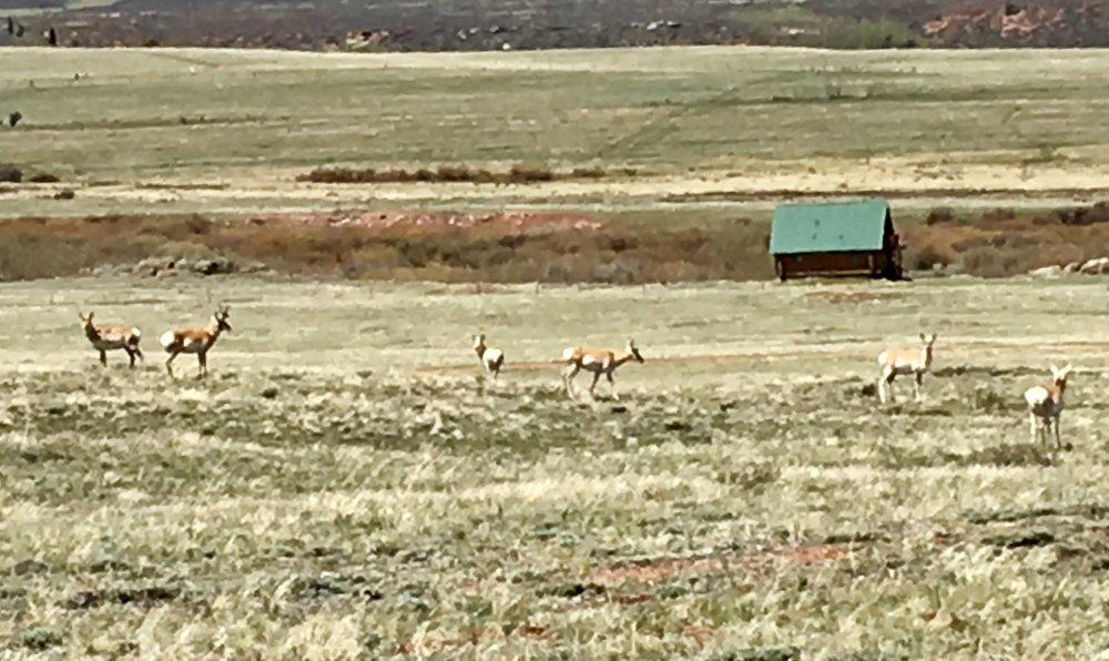 Antelope herd in the front yard