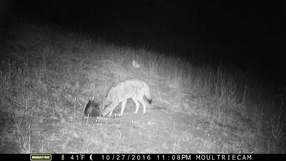 Coyote at the salt block