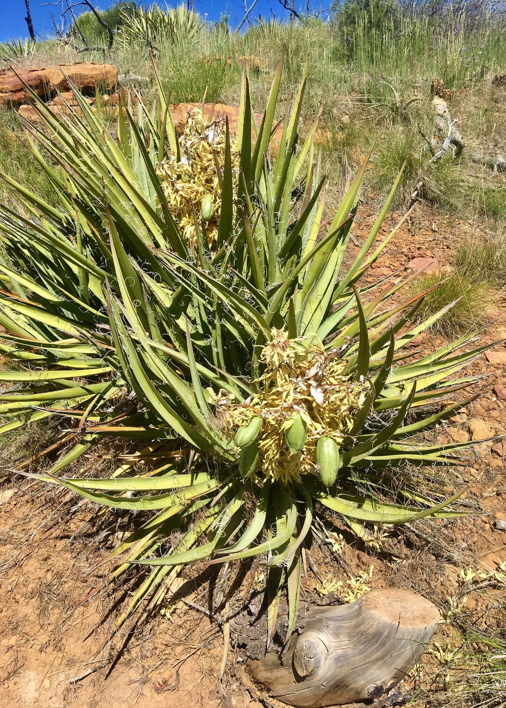 Yucca finished flowering, seed pods visible