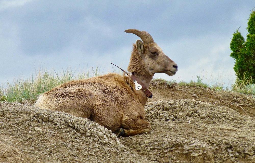 Collared ewe