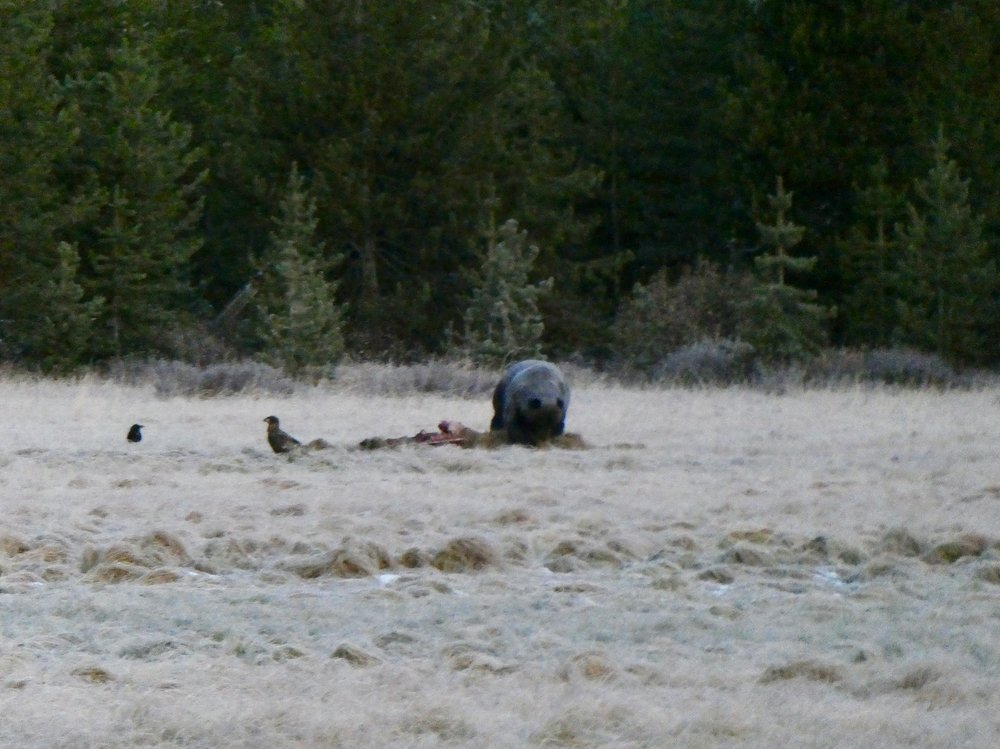 Next morning – a grizzly feeding on Ben's elk carcass, the following morning there were two wolves on the carcass