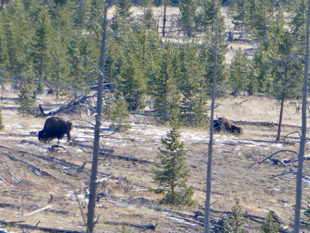 Bison grazing in the Throfare Valley, outside the park.