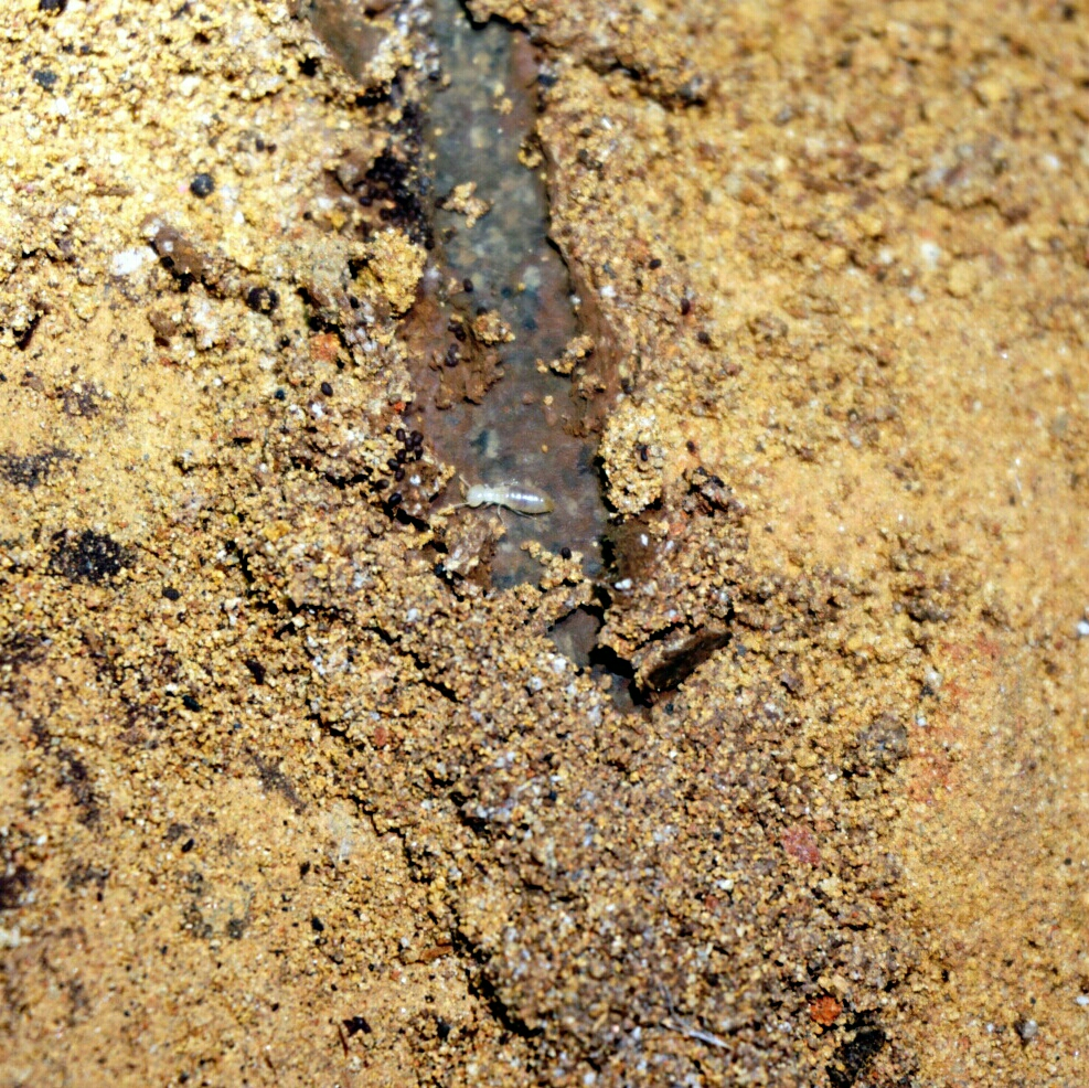 A Coptotermes acinaciformus worker. The Coptotermes genus is one of the most destructive termites in Australia, accounting for the majority of the timber damage in structures. These were found in a subfloor and were consuming leftover formwork in the subfloor.
