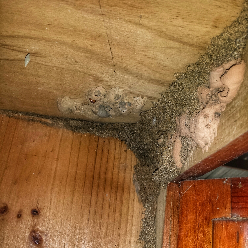 This cupboard had a mix of termite mud and wasps nests. Notice the shape and texture of the termite mud. The termite mud comes up from the ground, is grainy and forms a continuous sheter tube. The wasps nests are more homogenous in colour and texture, form small cylinders and are isolated.