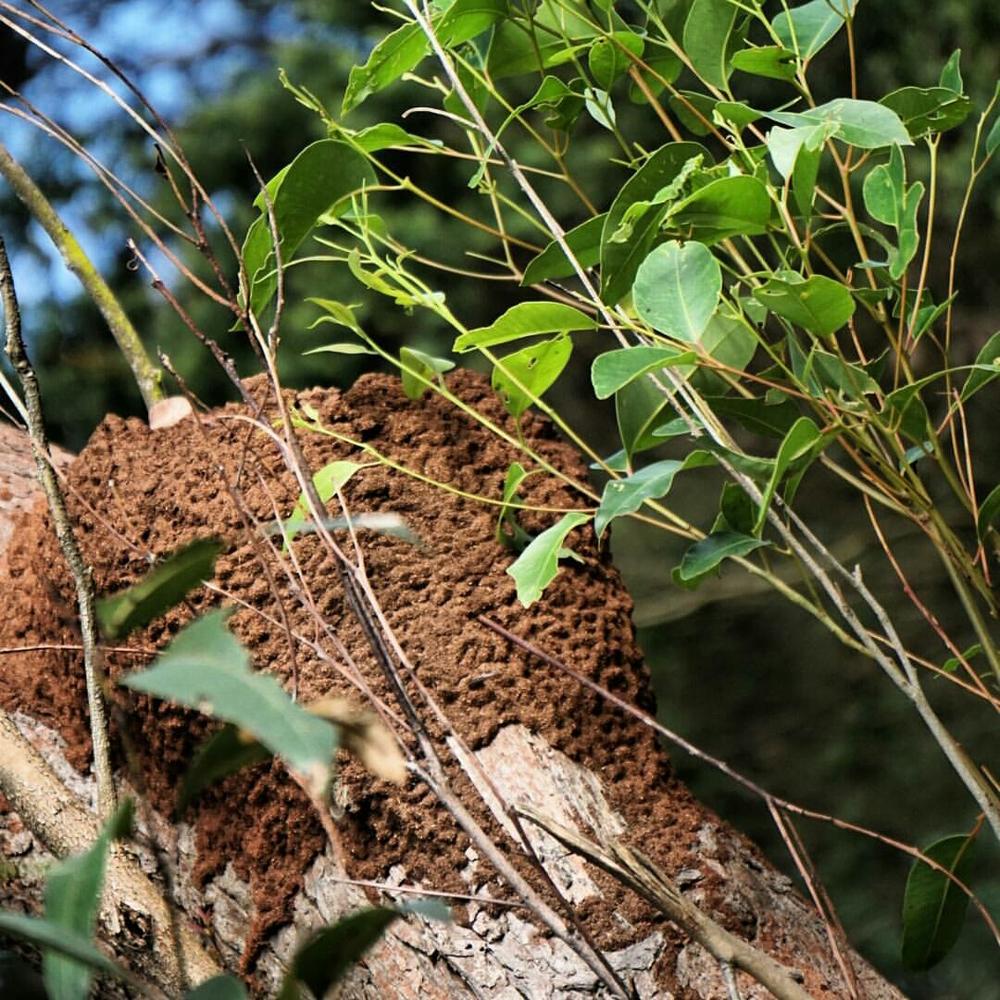 A nasutitermes nest.