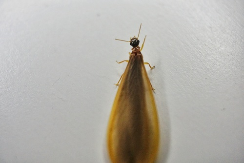 "This is a termite alate, commonly referred to as a ""swarmer"" these fly out of a colony to start a new colony where favourable conditions are met."