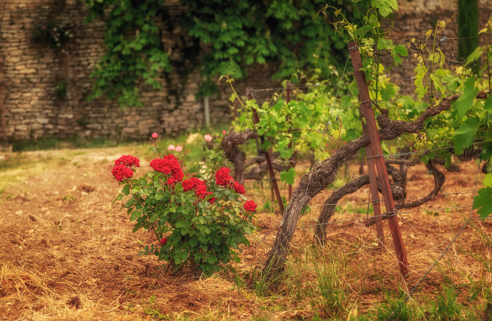 Luberon Roses