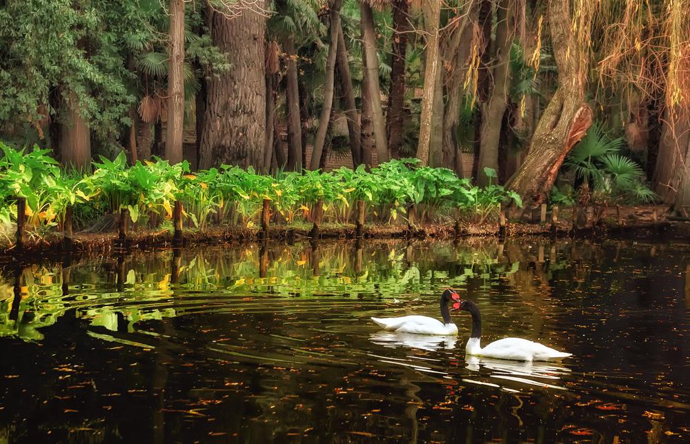 Swans Meeting