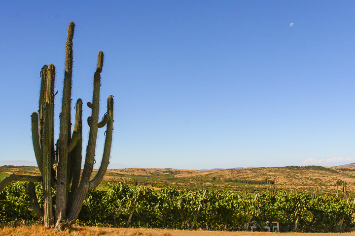 The striking near-desert vineyards of Marchigüe