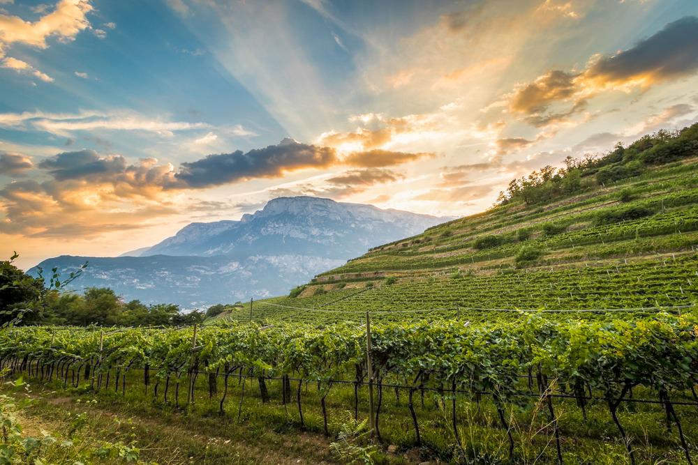 A Ferrari vineyard in Trento (Photo: Cantine Ferrari)