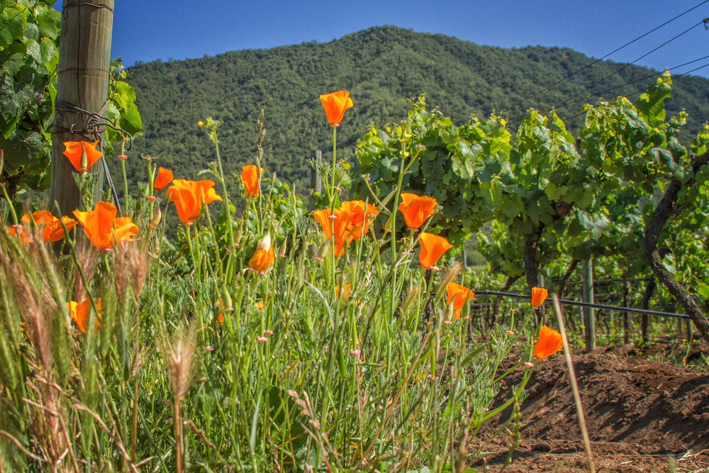 Flowers play an important part in maintaining Emiliana's eco-balance in the vineyard