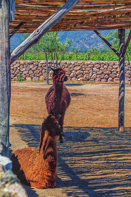 Emiliana's Llamas