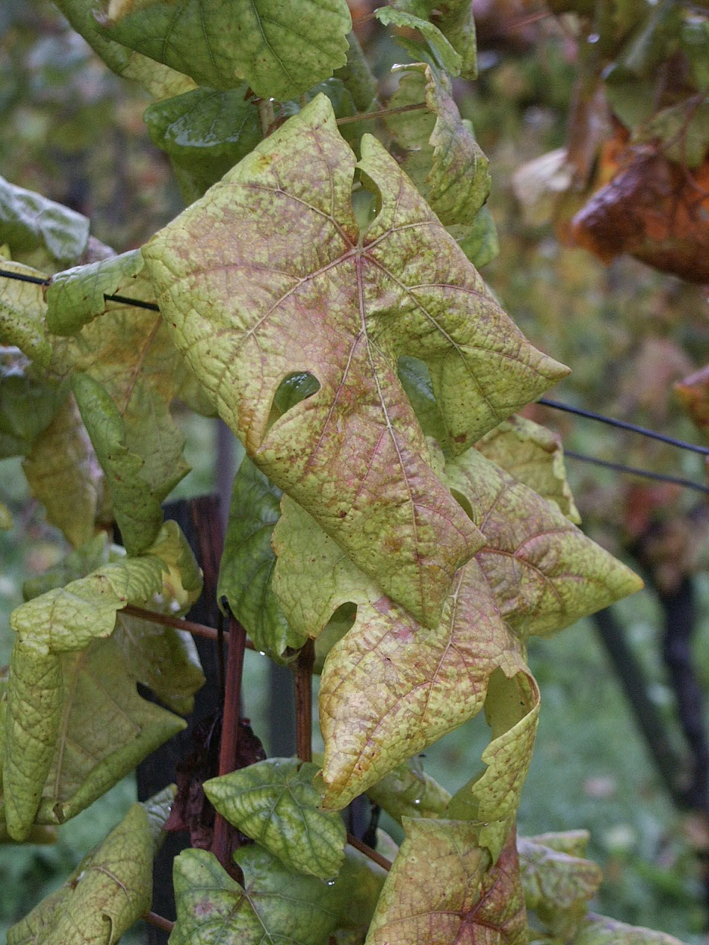 A vine infected with flavescence dorée (Photo: Josef Klement  [CC 2.0]  )