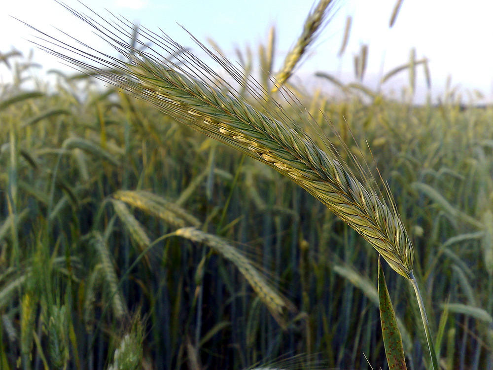 "An ""ear"" of rye (Photo: LSDSL, used with permission )"