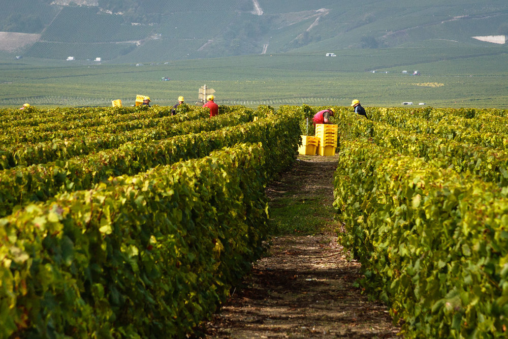 The chardonnay harvest in the Champagne village of Oger (Photo: Lyn Farmer)