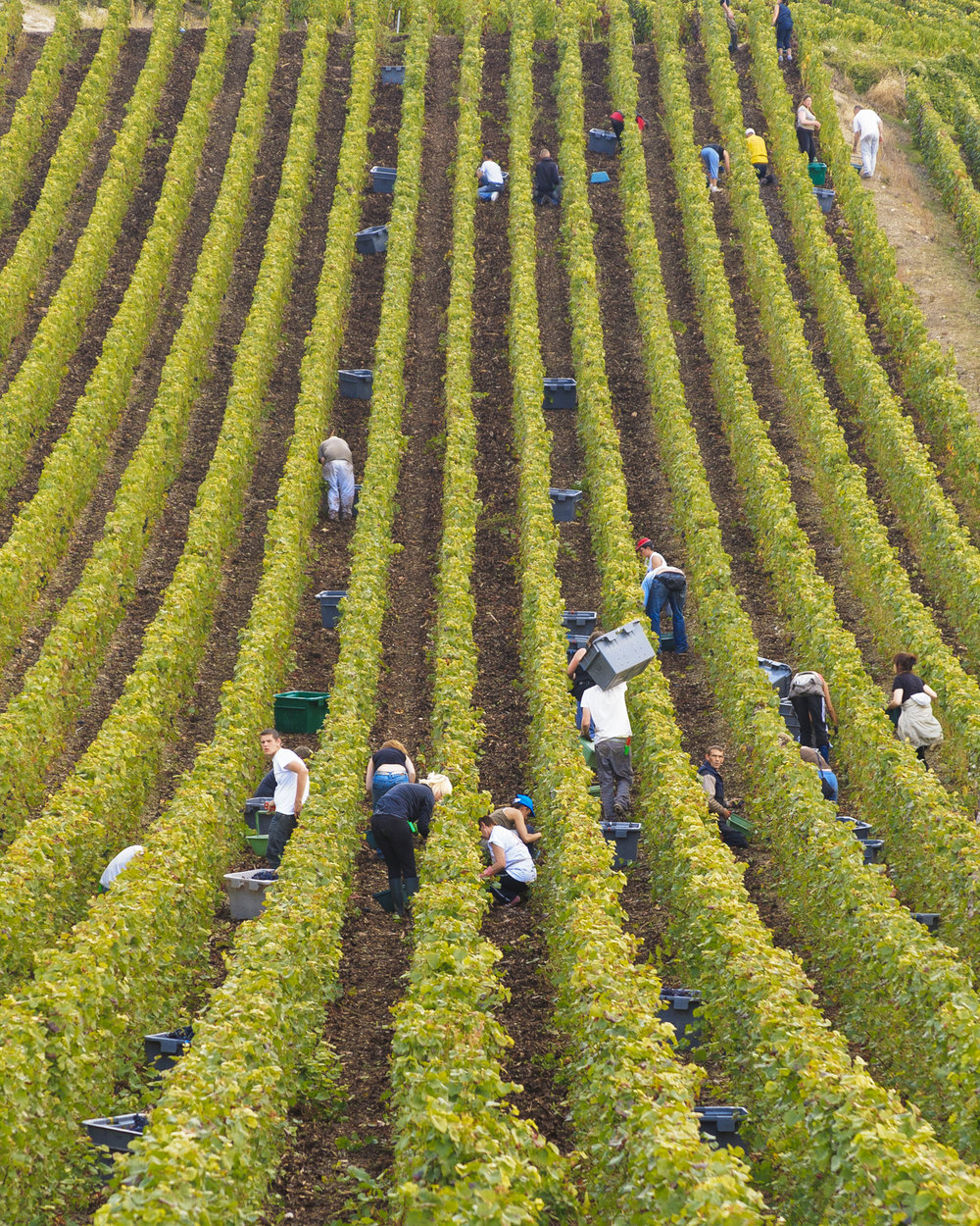 Harvest time in champagne (PHOTO: © Lyn farmer)