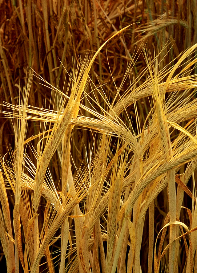 The all-important barley crop (Photo: Public Domain via Wikipedia Commons)