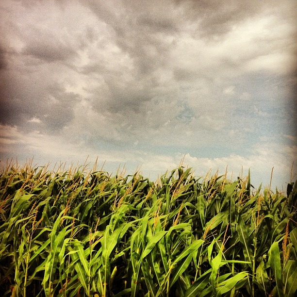 Corny. #iowa #corn #nature #farm #labelgmo #iphonephotography (Taken with Instagram)