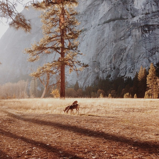 loyalstricklin: Yosemite Valley at snack time. What an incredible place! #vscocam #yosemite #yosemitevalley #deer