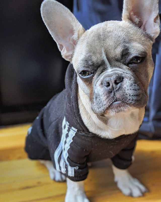 What you say? #puppies #frenchie #frenchbulldog