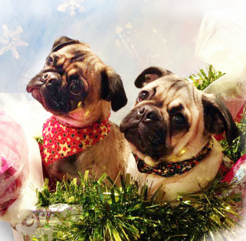 twitter xmas pugs.png