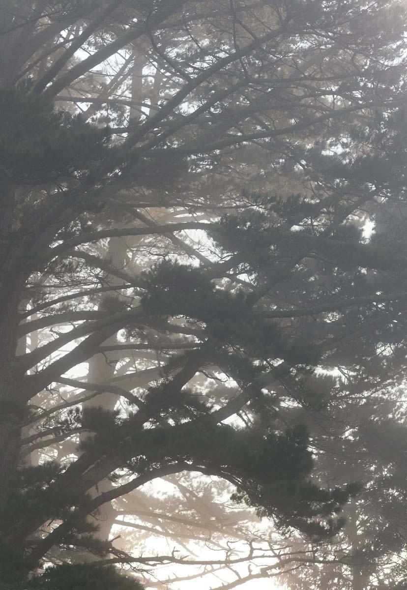 pine trees-new zealand-spid pye.jpg