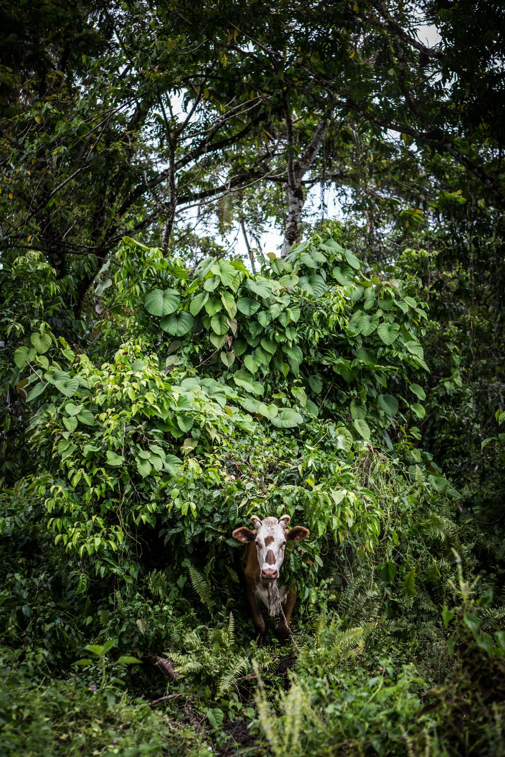 cow in bush-Samoa-Spid Pye-963__B6C5395.jpg