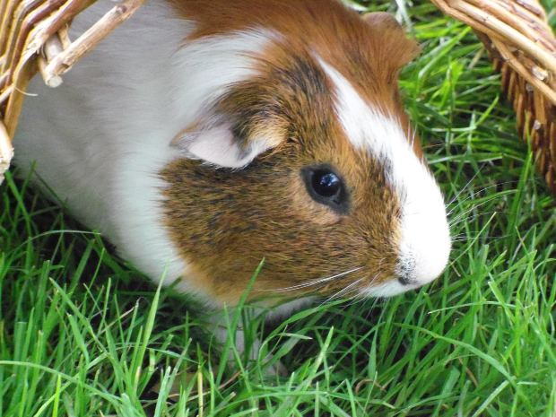 Guinea pigs are astrological symbols in Burma.
