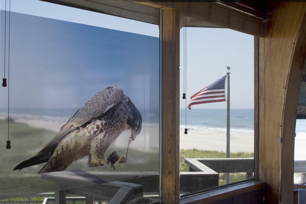 Peregrine Falcon, Kyle Kusa