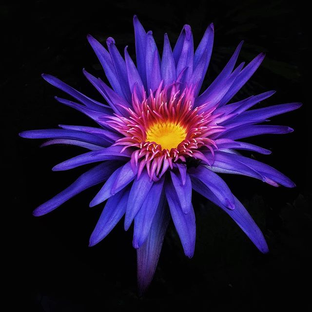A photo of a water lily from a few years ago I just found. Nice colors in this flower