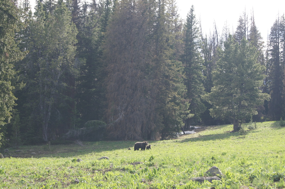 Grizzly family, Teton Wilderness (XE photo)
