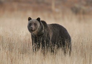 Grizzly, Hayden Valley (NPS photo)